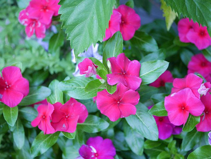 ニチニチソウ(日々草)の花がたくさん咲いた。2020年-012.jpg