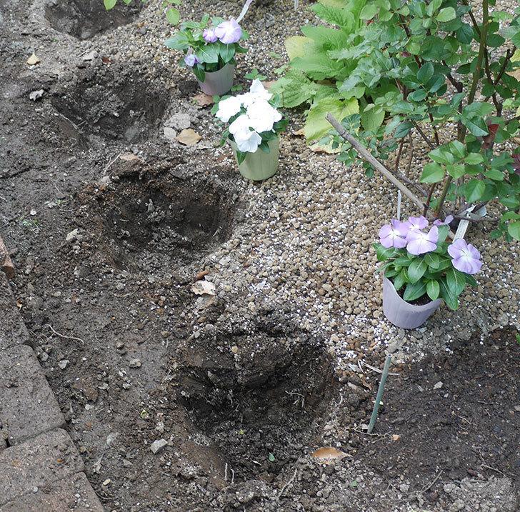 ニチニチソウ(日々草)の苗6個を地植えした。2020年-1.jpg