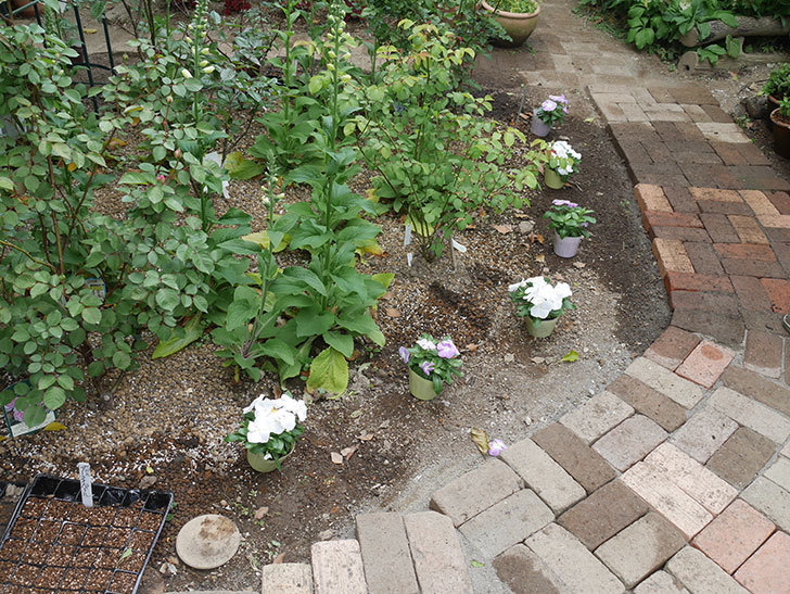 ニチニチソウ(日々草)の苗6個を地植えした。2020年-2.jpg