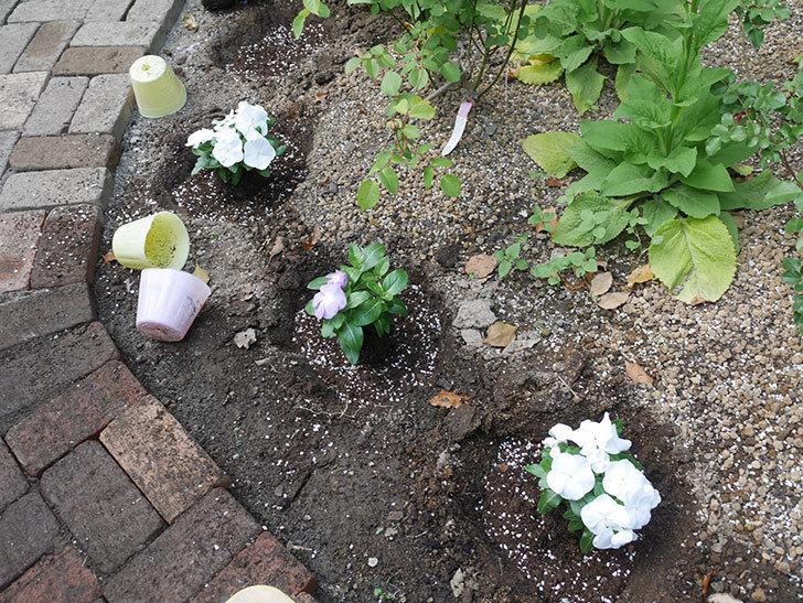 ニチニチソウ(日々草)の苗6個を地植えした。2020年-6.jpg