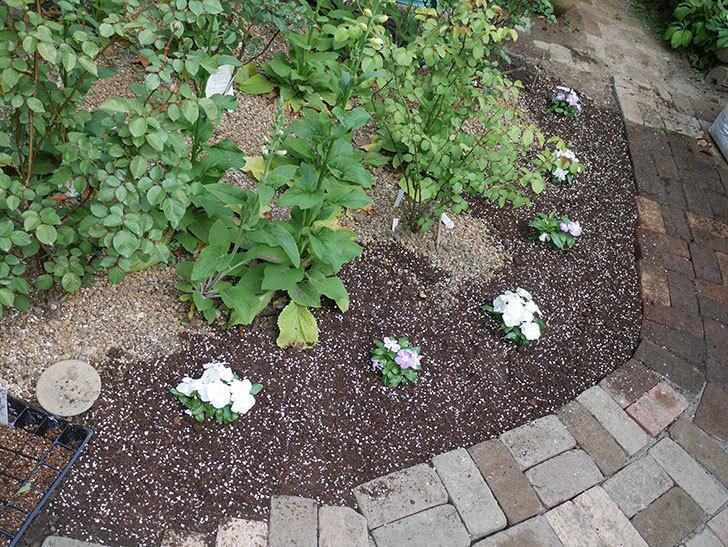 ニチニチソウ(日々草)の苗6個を地植えした。2020年-7.jpg