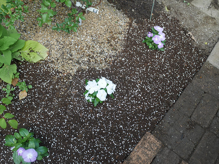 ニチニチソウ(日々草)の苗6個を地植えした。2020年-9.jpg