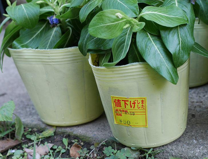 ニチニチソウ(日々草)の苗がホームズで54円だったので6個買って来た。2019年-2.jpg