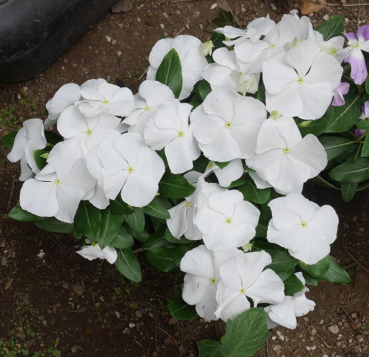 ニチニチソウ(日々草)の苗をホームズで6個買って来た。2020年-2.jpg