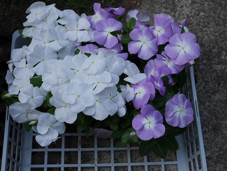 ニチニチソウ(日々草)の苗をホームズで6個買って来た。2021年-001.jpg