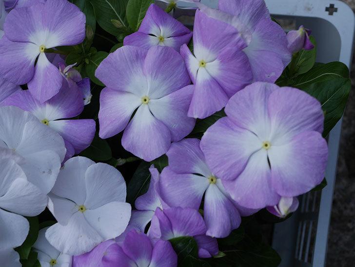 ニチニチソウ(日々草)の苗をホームズで6個買って来た。2021年-004.jpg