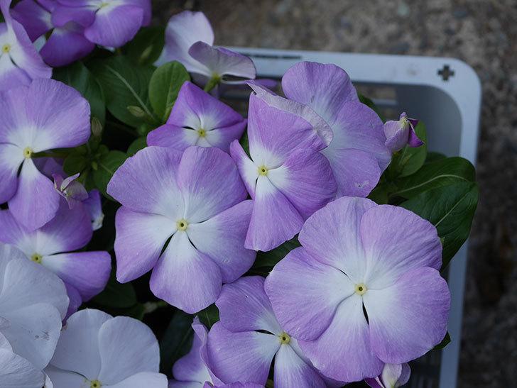 ニチニチソウ(日々草)の苗をホームズで6個買って来た。2021年-005.jpg