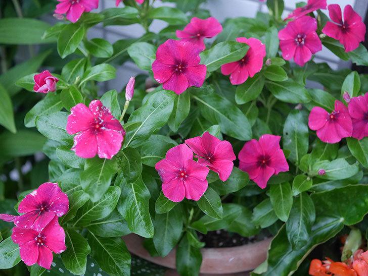 ニチニチソウ(日々草)ビンカ タトゥーの花が咲いた。2020年-001.jpg