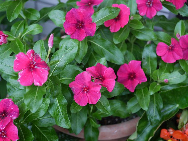 ニチニチソウ(日々草)ビンカ タトゥーの花が咲いた。2020年-004.jpg