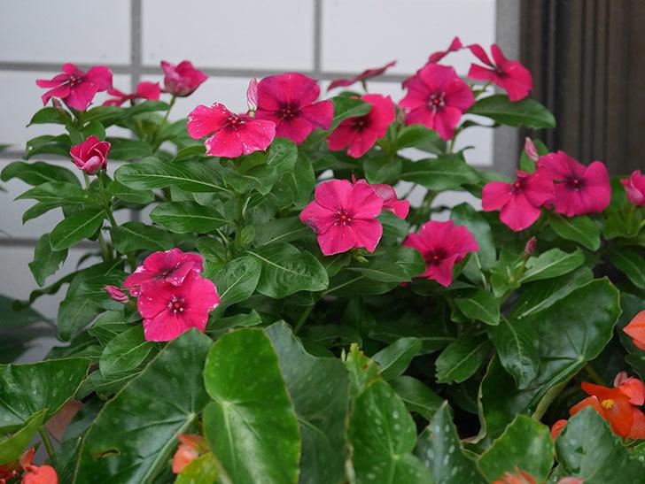 ニチニチソウ(日々草)ビンカ タトゥーの花が咲いた。2020年-007.jpg
