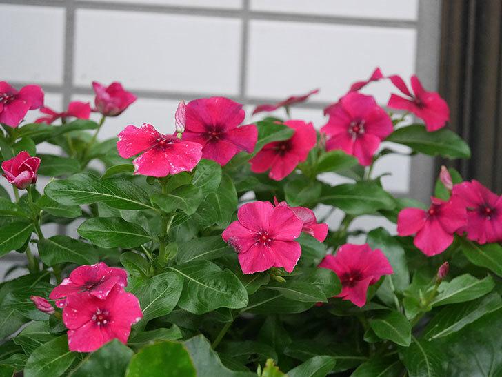 ニチニチソウ(日々草)ビンカ タトゥーの花が咲いた。2020年-008.jpg