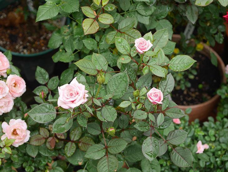 ニューヨーク・フォーエバー(New York Forever)の2番花が咲いた。ミニバラ。2020年-001.jpg
