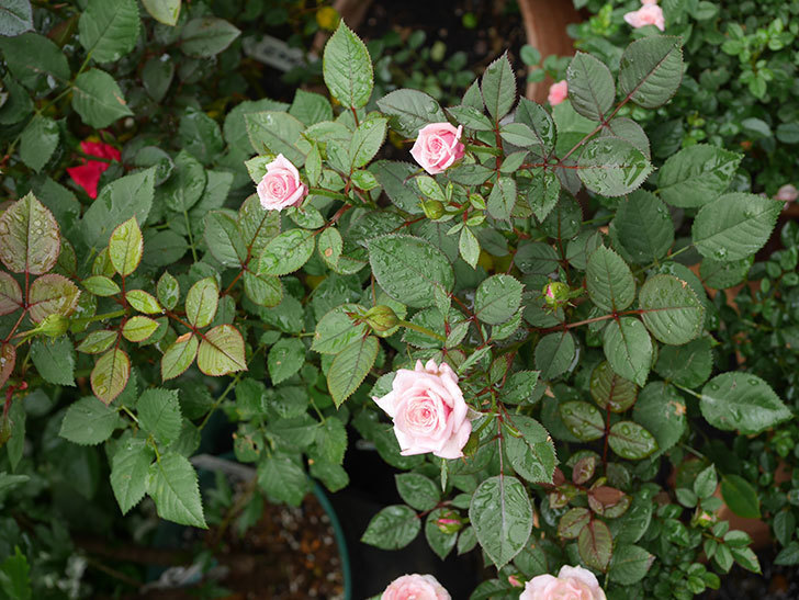 ニューヨーク・フォーエバー(New York Forever)の2番花が咲いた。ミニバラ。2020年-002.jpg