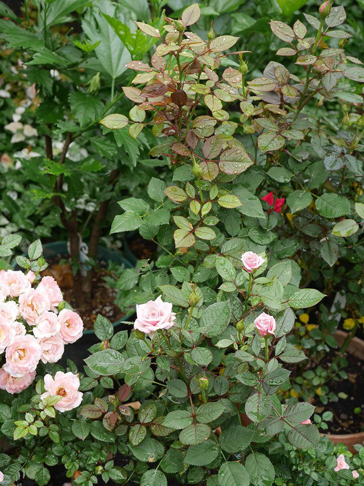 ニューヨーク・フォーエバー(New York Forever)の2番花が咲いた。ミニバラ。2020年-003.jpg