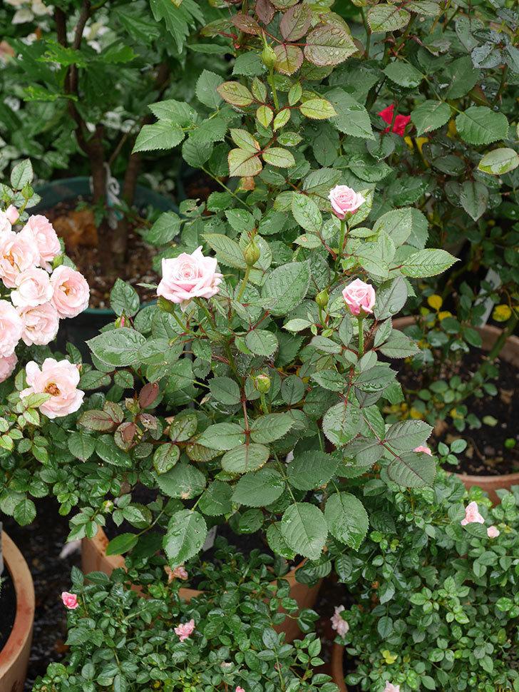 ニューヨーク・フォーエバー(New York Forever)の2番花が咲いた。ミニバラ。2020年-004.jpg