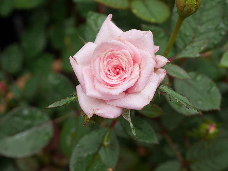 ニューヨーク・フォーエバー(New York Forever)の2番花が咲いた。ミニバラ。2020年-005.jpg
