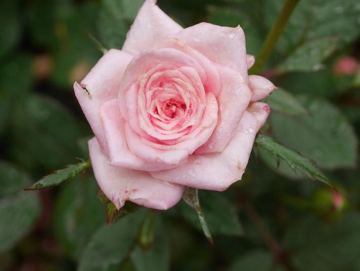 ニューヨーク・フォーエバー(New York Forever)の2番花が咲いた。ミニバラ。2020年-006.jpg