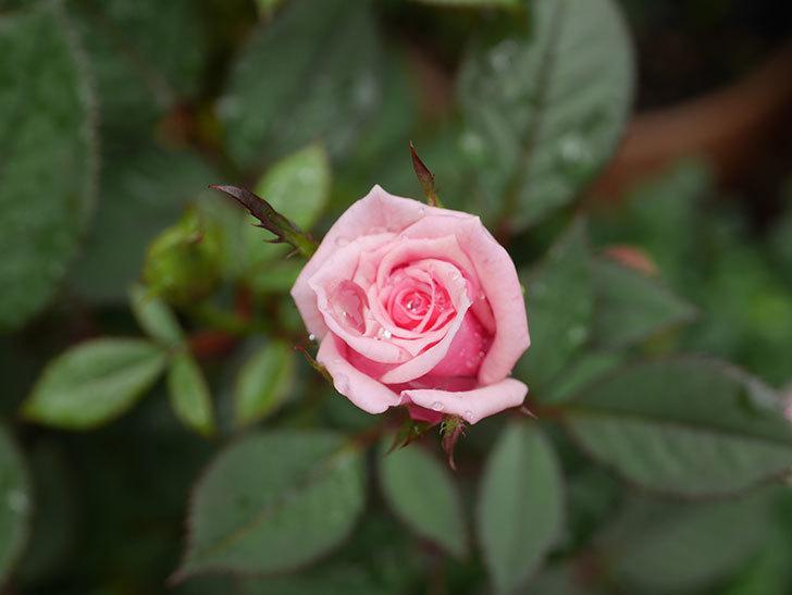 ニューヨーク・フォーエバー(New York Forever)の2番花が咲いた。ミニバラ。2020年-007.jpg