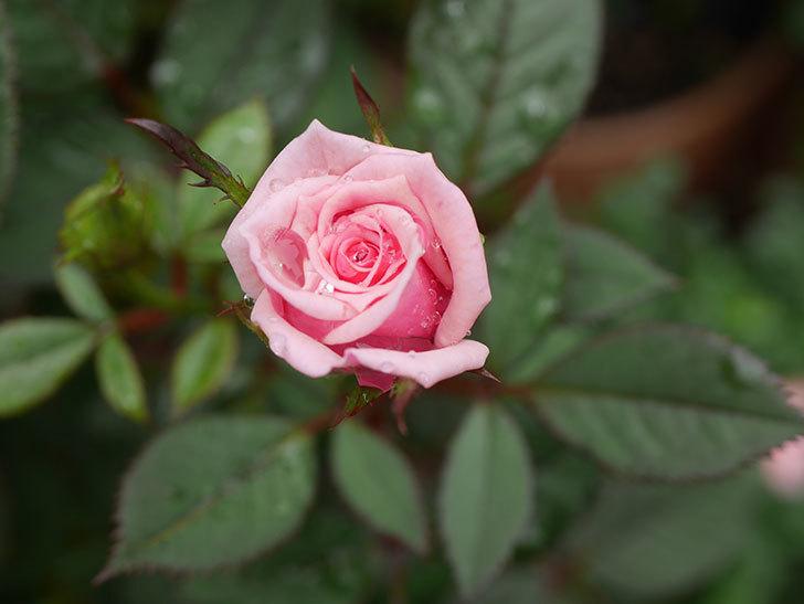 ニューヨーク・フォーエバー(New York Forever)の2番花が咲いた。ミニバラ。2020年-008.jpg