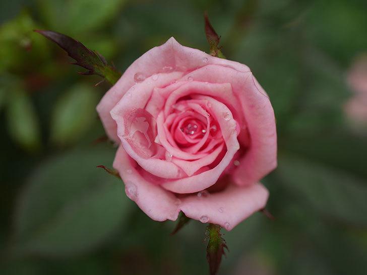 ニューヨーク・フォーエバー(New York Forever)の2番花が咲いた。ミニバラ。2020年-010.jpg