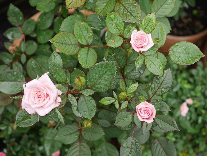 ニューヨーク・フォーエバー(New York Forever)の2番花が咲いた。ミニバラ。2020年-011.jpg