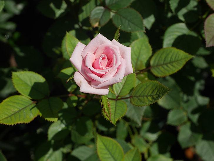 ニューヨーク・フォーエバー(New York Forever)の夏花が咲いた。ミニバラ。2020年-004.jpg
