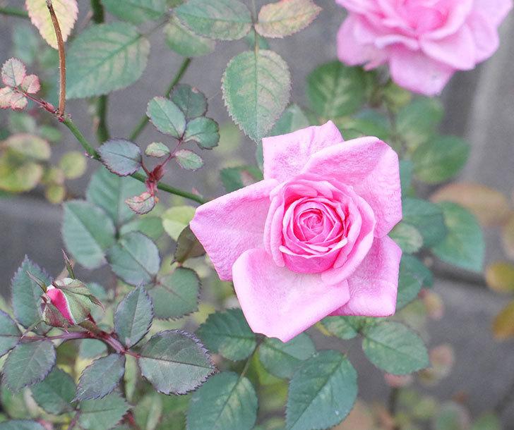 ニューヨーク・フォーエバー(ミニバラ)に濃いピンクの花が咲いた。2019年-1.jpg