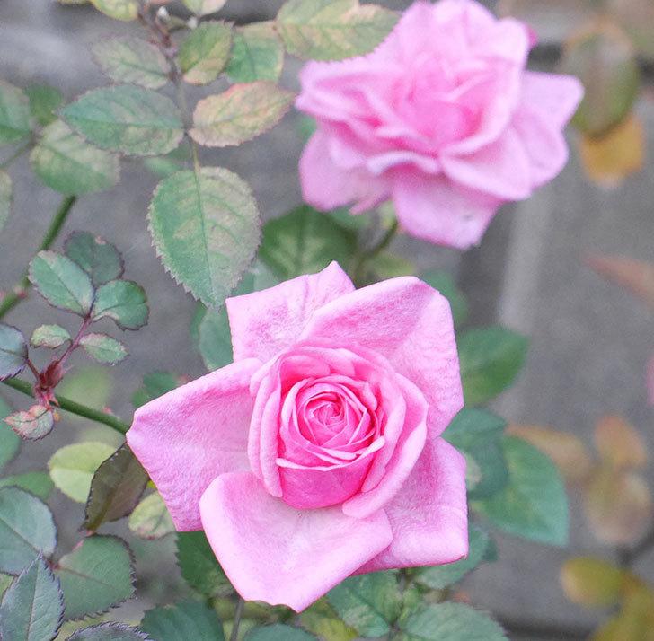 ニューヨーク・フォーエバー(ミニバラ)に濃いピンクの花が咲いた。2019年-3.jpg
