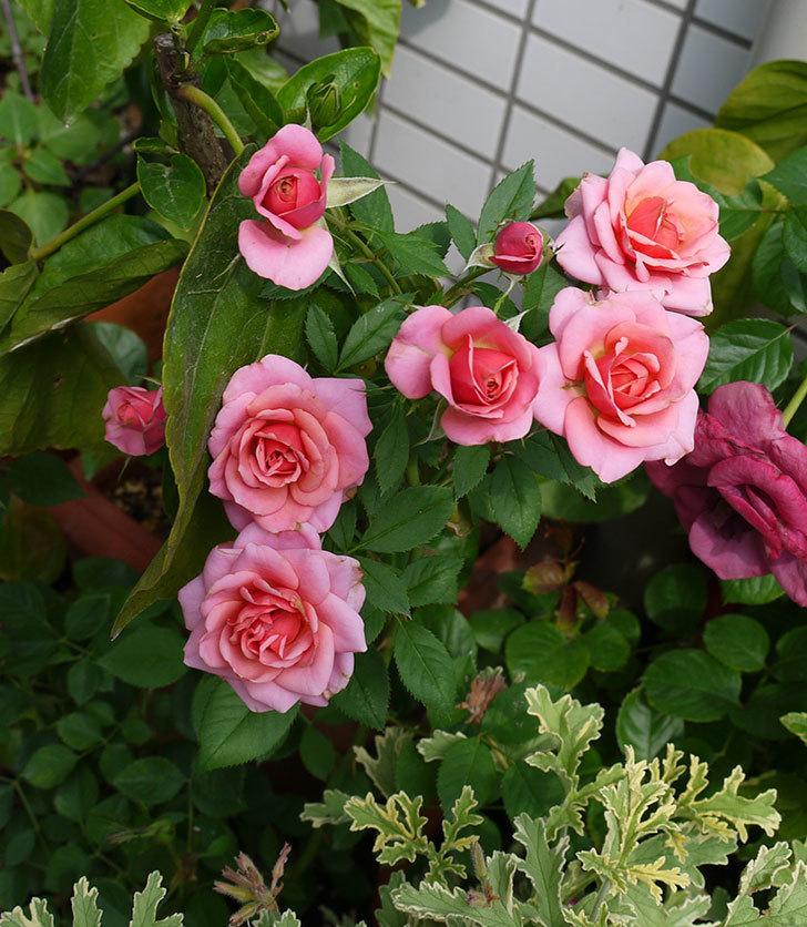 ニューヨーク・フォーエバー(ミニバラ)の2番花が咲いた。2017年-3.jpg