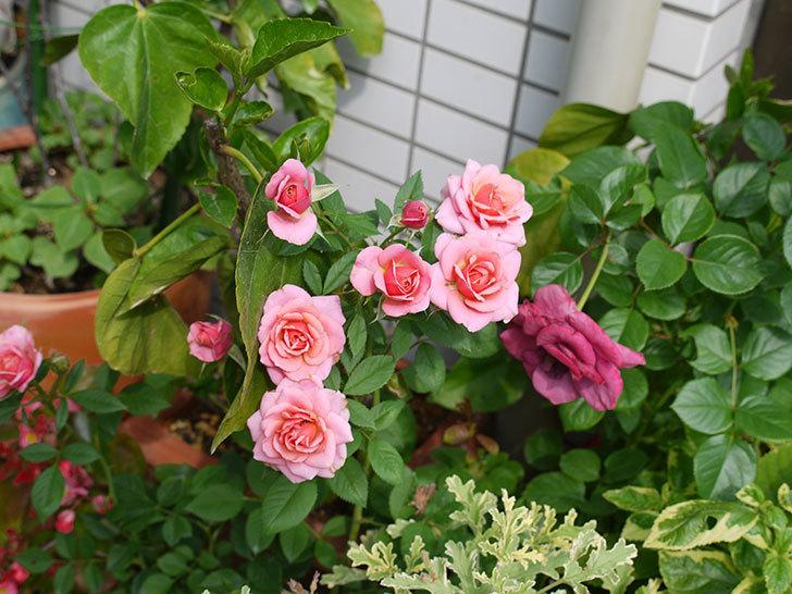 ニューヨーク・フォーエバー(ミニバラ)の2番花が咲いた。2017年-4.jpg