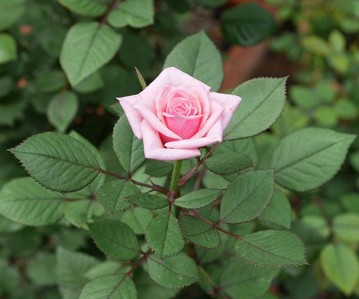 ニューヨーク・フォーエバー(ミニバラ)の2番花が咲いた。2019年-1.jpg