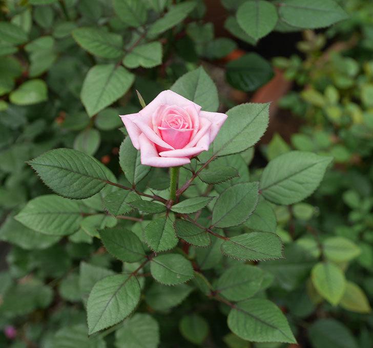 ニューヨーク・フォーエバー(ミニバラ)の2番花が咲いた。2019年-3.jpg