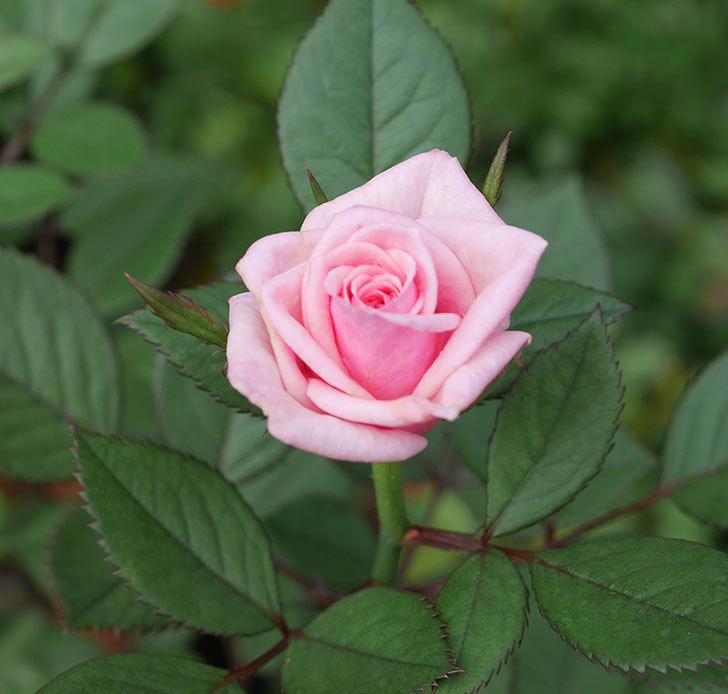ニューヨーク・フォーエバー(ミニバラ)の2番花が咲いた。2019年-5.jpg
