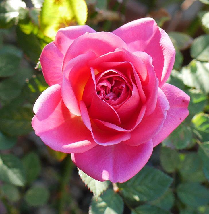ニューヨーク・フォーエバー(ミニバラ)のピンクの花がさらに濃くなった。2019年-2.jpg