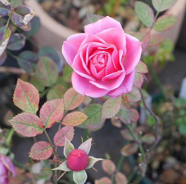 ニューヨーク・フォーエバー(ミニバラ)のピンクの花がさらに濃くなった。2019年-5.jpg