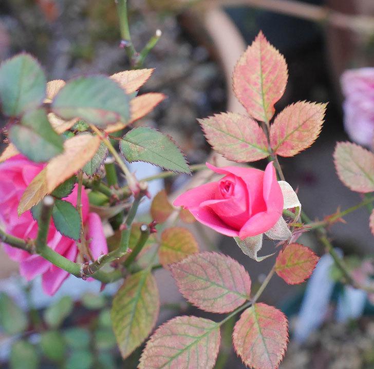 ニューヨーク・フォーエバー(ミニバラ)のピンクの花がさらに濃くなった。2019年-6.jpg