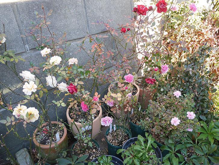ニューヨーク・フォーエバー(ミニバラ)のピンクの花がさらに濃くなった。2019年-7.jpg
