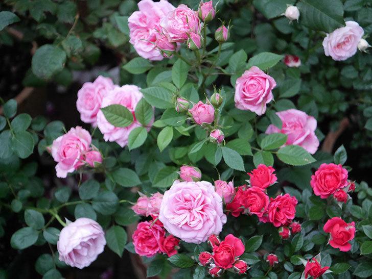 ニューヨーク・フォーエバー(ミニバラ)の花がたくさん咲いた。2020年-004.jpg