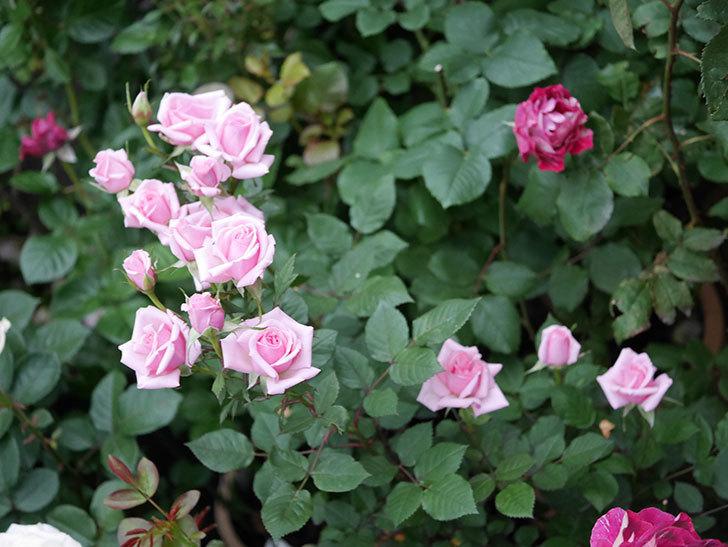 ニューヨーク・フォーエバー(ミニバラ)の花がたくさん咲いた。2020年-006.jpg