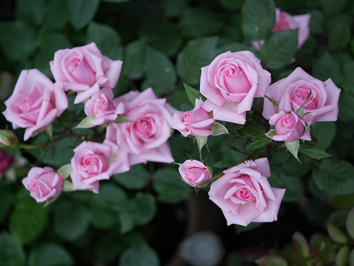 ニューヨーク・フォーエバー(ミニバラ)の花がたくさん咲いた。2020年-008.jpg