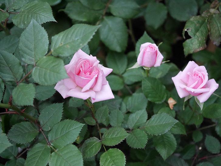 ニューヨーク・フォーエバー(ミニバラ)の花がたくさん咲いた。2020年-009.jpg