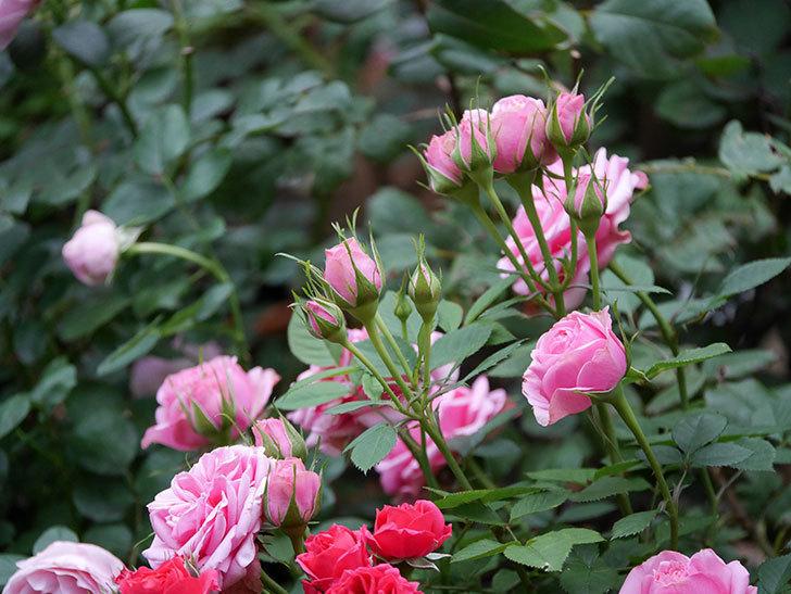 ニューヨーク・フォーエバー(ミニバラ)の花がたくさん咲いた。2020年-011.jpg