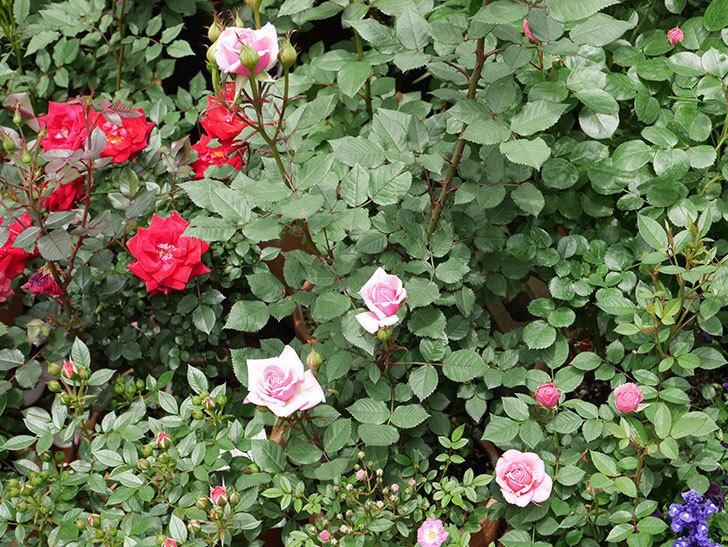 ニューヨーク・フォーエバー(ミニバラ)の花が咲きだした。2019年-6.jpg