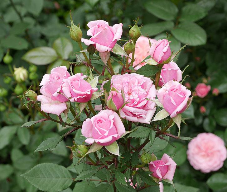 ニューヨーク・フォーエバー(ミニバラ)の花が増えて来た。2019年-2.jpg