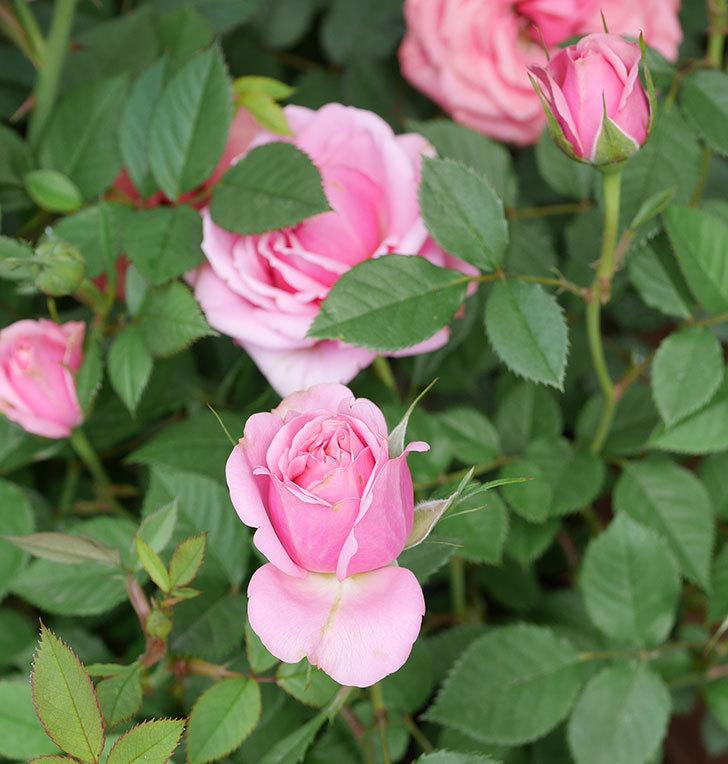 ニューヨーク・フォーエバー(ミニバラ)の花が増えて来た。2019年-5.jpg