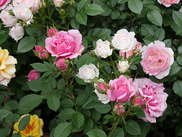 ニューヨーク・フォーエバー(ミニバラ)の花が増えて来た。2019年-8.jpg