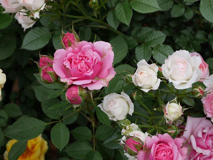 ニューヨーク・フォーエバー(ミニバラ)の花が増えて来た。2019年-9.jpg