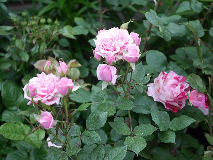 ニューヨーク・フォーエバー(ミニバラ)の花が綺麗に咲いた。2020年-01.jpg