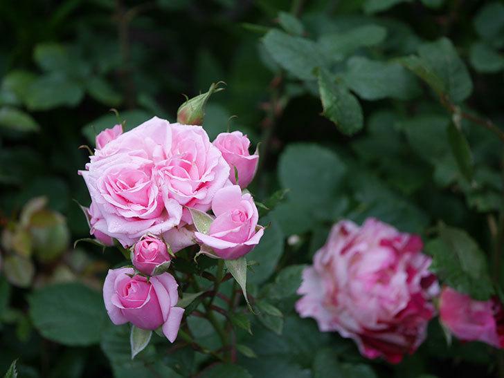 ニューヨーク・フォーエバー(ミニバラ)の花が綺麗に咲いた。2020年-02.jpg