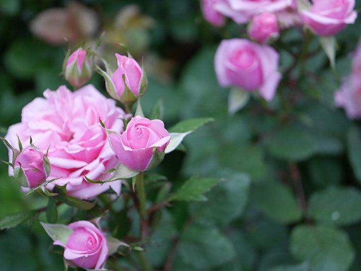ニューヨーク・フォーエバー(ミニバラ)の花が綺麗に咲いた。2020年-03.jpg